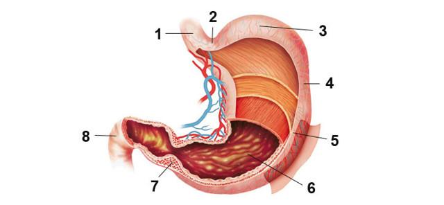 Какой орган считается главным в пищеварении у человека?