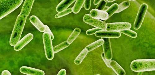 Условно-патогенная микрофлора кишечника: понятие, норма и патология