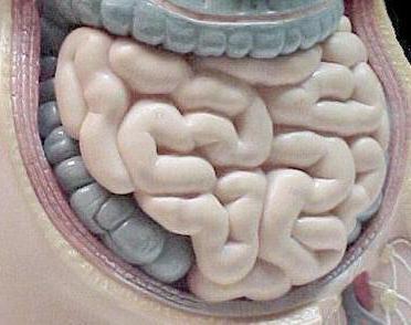 Тощая кишка: строение и функции органа