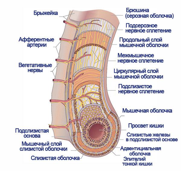 Слепая кишка: расположение, строение и функций органа