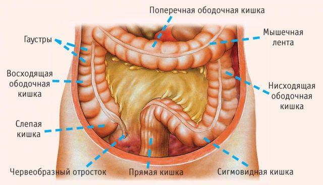 Сигмовидная кишка: расположение, строение и функции