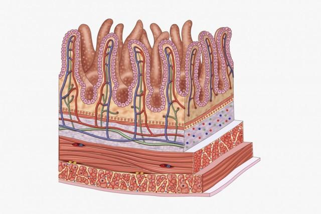 Как происходит всасывание питательных веществ в кишечнике?