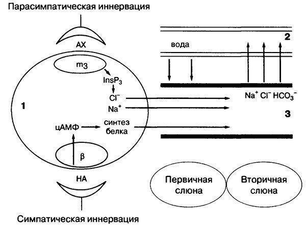 Состав и свойства слюны человека
