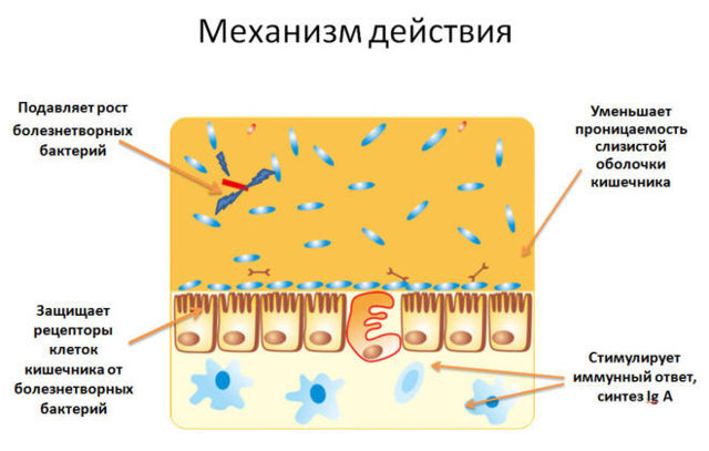 Симбиотики для кишечника: лакто- и бифидобактерии в одном препарате