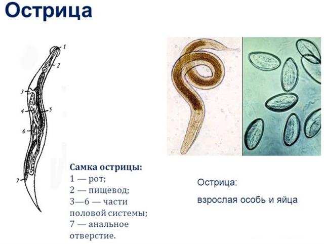 Анализ кала на энтеробиоз: подготовка и проведение