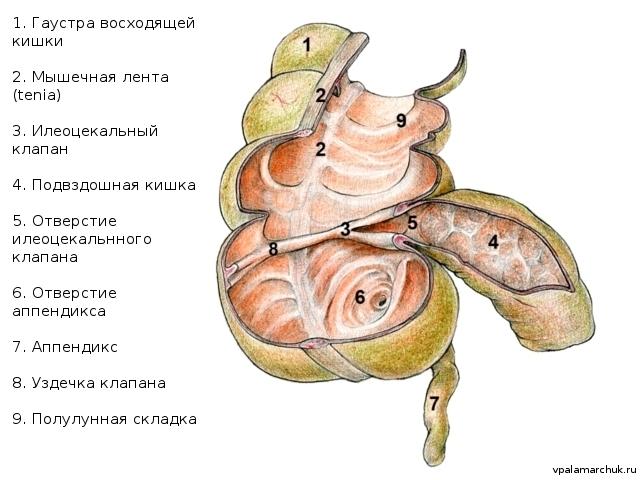 Анатомия кишечника: описание строения, функций и микрофлоры
