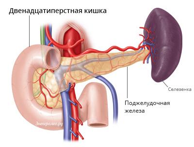 Брыжейка кишечника: понятие, расположение, строение и функции