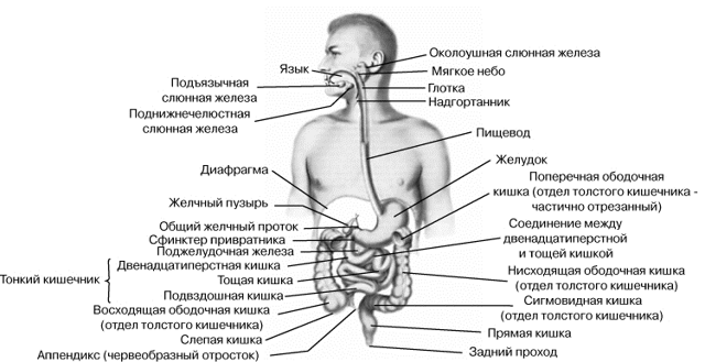 Строение тонкого и толстого кишечника и их основных отделов