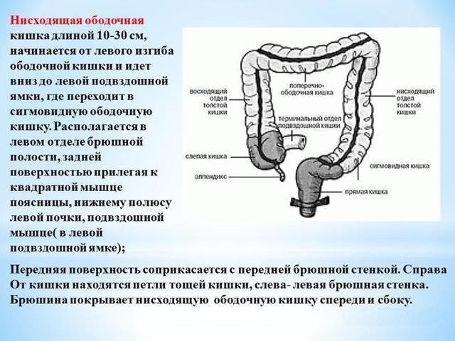 Ободочная кишка: расположение, строение и функции органа
