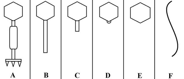 Бактериофаги и их использование в лечении кишечных патологий