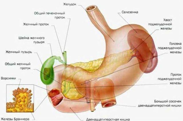 12-перстная кишка: расположение, строение и заболевания